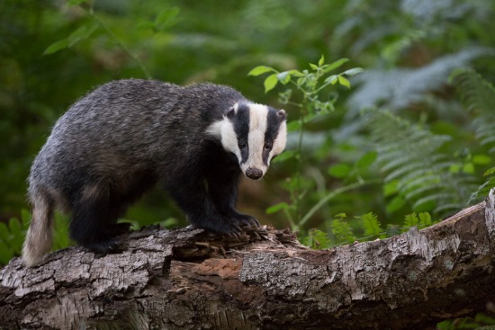 New Forest Badgers