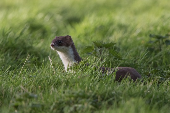 Little Wood Stoats