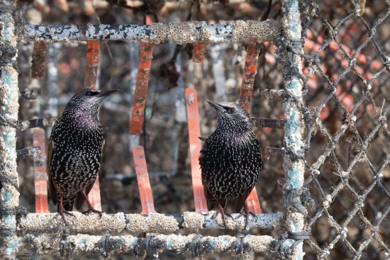 The colours of Starlings